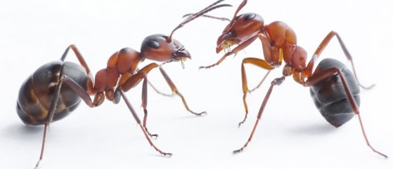 'Talking' Ants Are Evidence For Creation      By Jeffrey Tomkins, Ph.D.